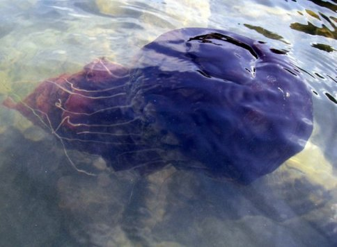 Giant black jellyfish