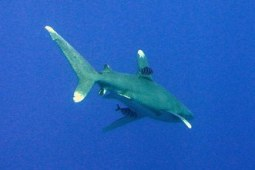 Oceanic white tip shark